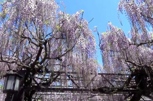 福岡県 黒木の大藤の写真