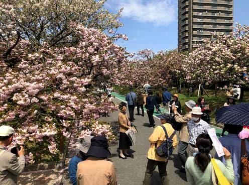 広島で遅咲きの桜楽しむ「花のまわりみち」見頃へ