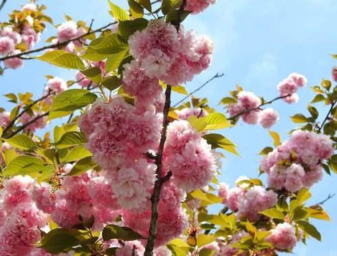 造幣局広島支局 花のまわりみち ピンクの八重桜