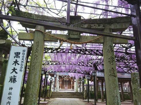 福岡八女・黒木大藤 満開の様子9