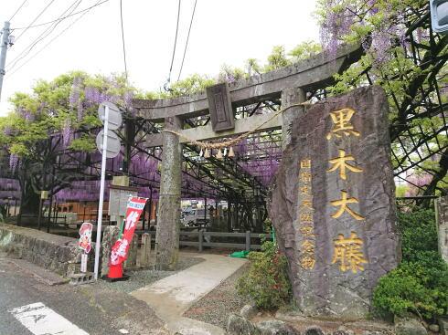 福岡八女・黒木大藤 満開の様子8