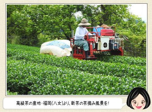 新茶の収穫最盛期迎え、ピカピカ新芽が美しい福岡県八女市の茶摘み風景