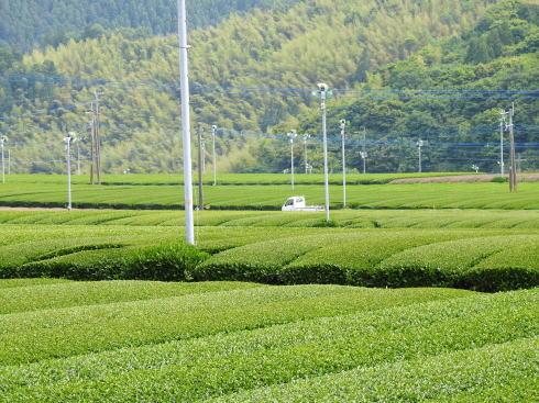 八女茶 茶畑の風景