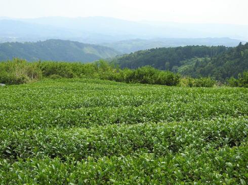 福岡県八女市 上陽の茶摘み風景
