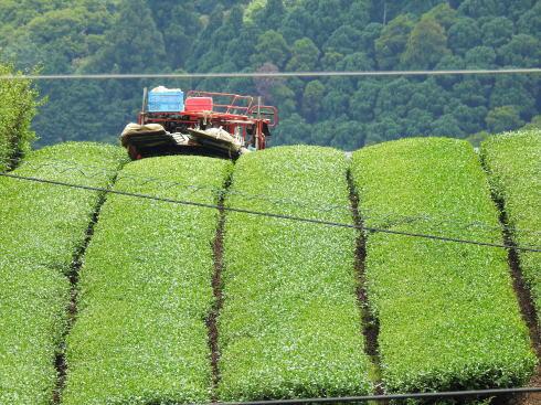 福岡県八女市 上陽の茶摘み風景7