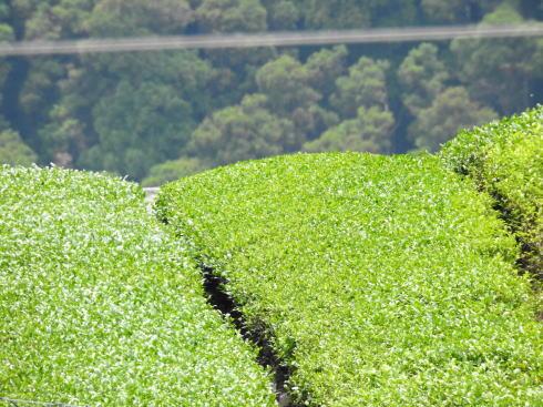 福岡県八女市 上陽の茶摘み風景9