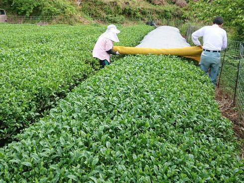 岡県八女市 上陽の茶摘み風景5
