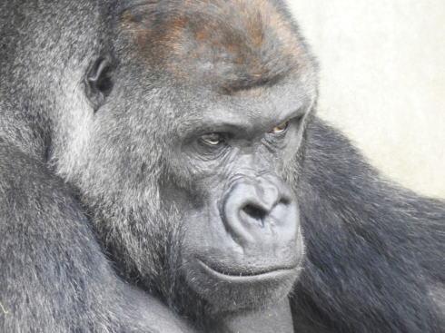 東山動物園 イケメンすぎるゴリラ シャバーニ画像2