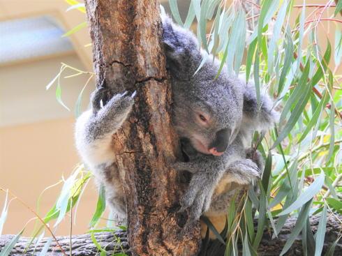 東山動物園 コアラの画像