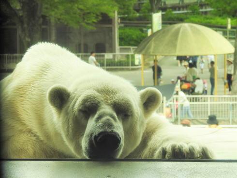 東山動物園 ホッキョクグマの画像