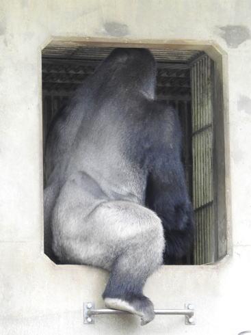 東山動物園 イケメンすぎるゴリラ シャバーニ画像3