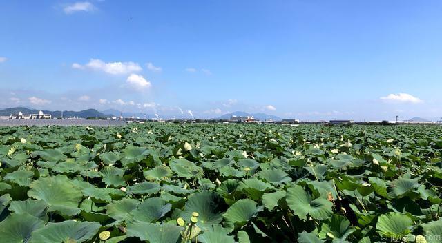 見渡す限りレンコン畑!巨大な葉や蓮の花も美しい岩国に広がる風景