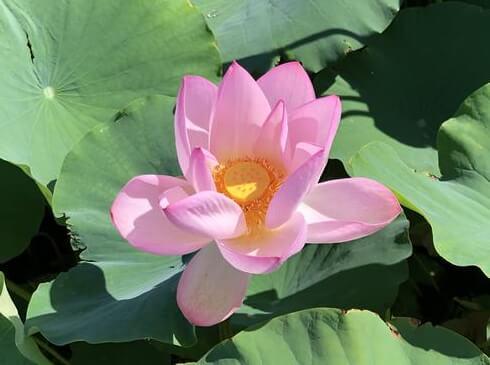 蓮の花(レンコンの花)