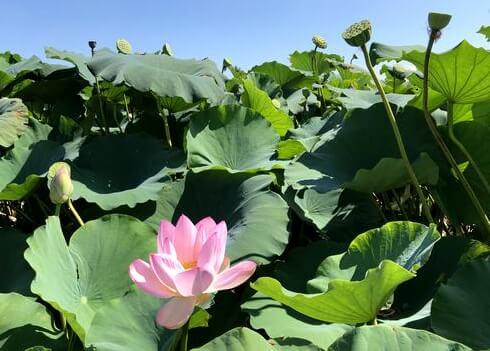 ピンクの蓮の花 岩国れんこん畑
