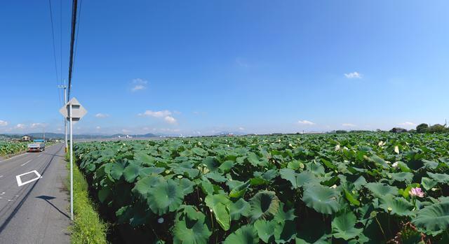 岩国レンコン畑(尾津のハス田)