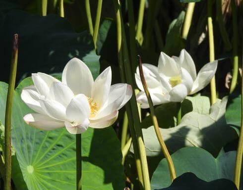 蓮の花 岩国れんこん畑