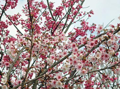 鹿児島の桜が見頃に