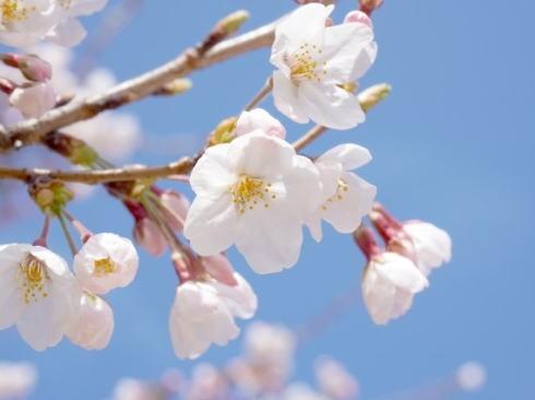 桜(ソメイヨシノ)の開花予想
