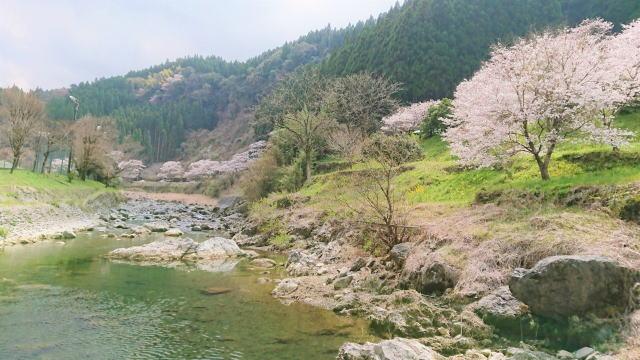 福岡県八女市 日向神ダムの千本桜 画像4