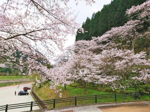 福岡県八女市 日向神ダムの千本桜 画像