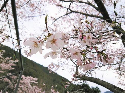 福岡県八女市 日向神ダムの桜 アップ写真