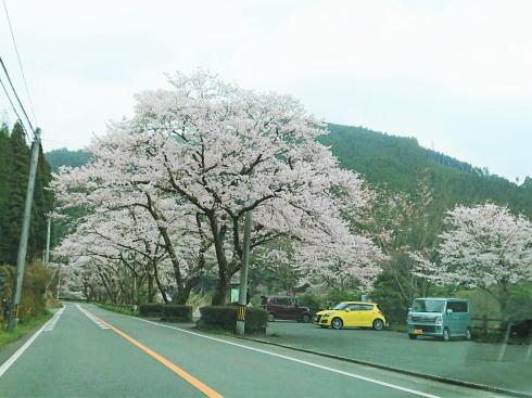 福岡県八女市 日向神ダムの千本桜 立ち寄り駐車場