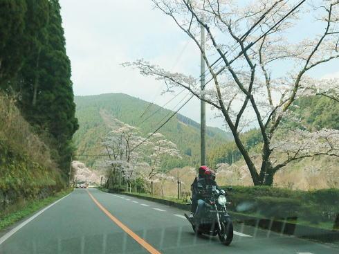 福岡県八女市 日向神ダムの千本桜 画像3