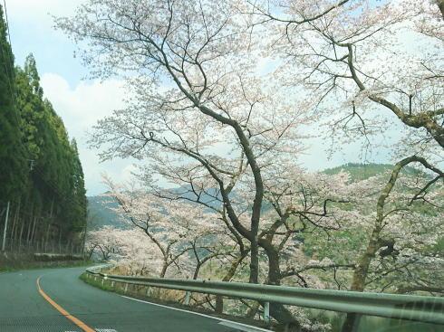 福岡県八女市 日向神ダムの千本桜 画像2