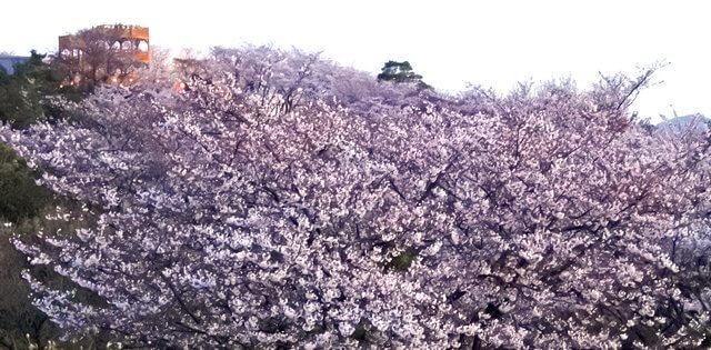 美しさに溜息、開山公園が満開の桜で埋め尽くされる!しまなみ海道・伯方島で