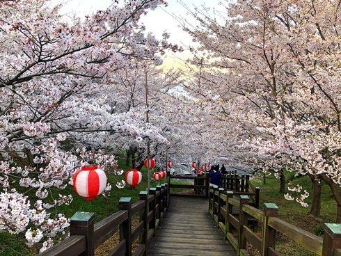 開山公園、駐車場から桜がすごい