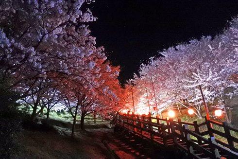 夜桜も美しい、開山公園で桜のライトアップ