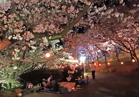 夜桜もOK!開山公園で桜のライトアップ