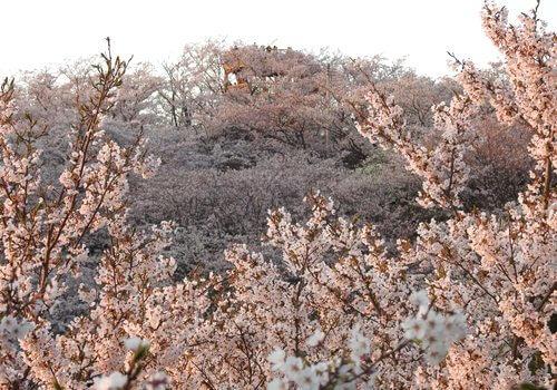 開山公園の桜が満開!しまなみ海道・伯方島で