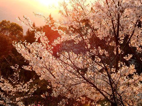 夕陽に照らされる開山公園の桜