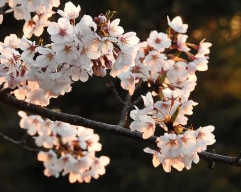 開山公園の桜が満開で見頃