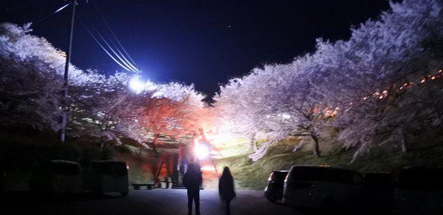 夜桜にうっとり、開山公園で桜のライトアップ