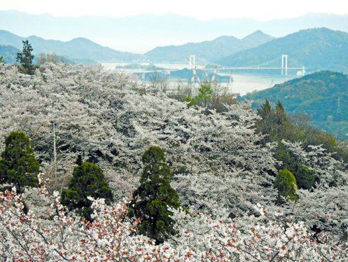 開山公園、展望台から見る満開の桜