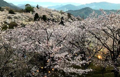 開山公園、展望台から見る桜の風景