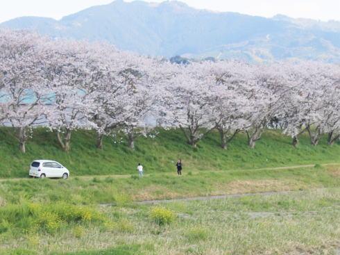 福岡・矢部川沿いの桜 写真5
