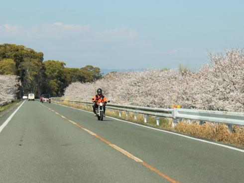 福岡・矢部川沿いの桜 ツーリングでも楽しめる