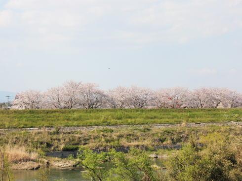 福岡・矢部川沿いの桜 写真3