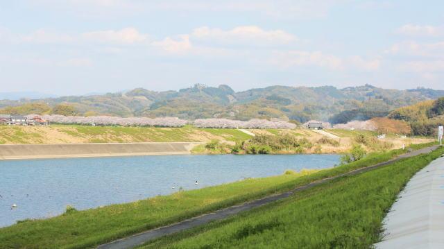 福岡・矢部川沿いの桜 俯瞰写真2