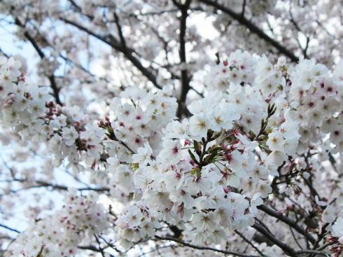 福岡・矢部川沿いの桜 写真2
