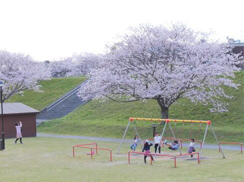 福岡・矢部川沿いの桜 宮野公園2