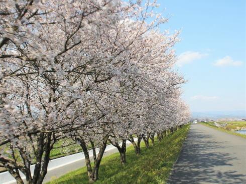 福岡・矢部川沿いの桜 写真