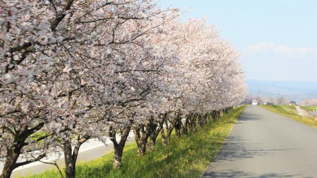 福岡・矢部川沿いの桜が見事!桜のお花見ドライブも