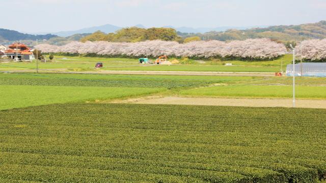 福岡・矢部川沿いの桜 茶畑とのコラボ