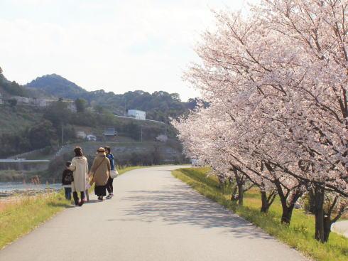 福岡・矢部川沿いの桜 徒歩でも楽しめる
