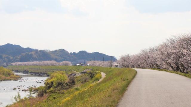福岡・矢部川沿いの桜 写真4