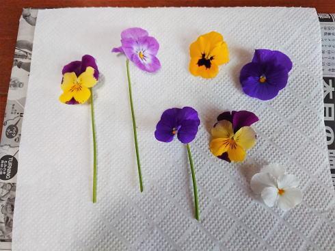 スミレ 押し花の作り方